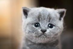 逗人喜爱的小猫纵向 英国猫shorthair 库存图片