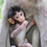 逗人喜爱的小猴子,掩藏在母亲` s乳房印度尼西亚附近 免版税库存照片