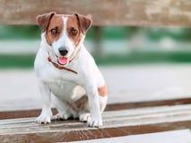 逗人喜爱的小白色和棕色狗起重器罗素狗前面画象坐木公园长椅和和调查照相机a的  库存图片