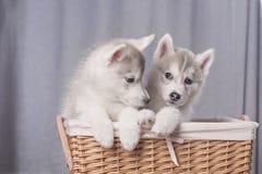 逗人喜爱的小的小狗坐白色背景 库存图片
