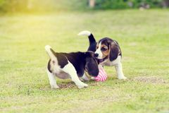 逗人喜爱的小的小猎犬 免版税库存图片
