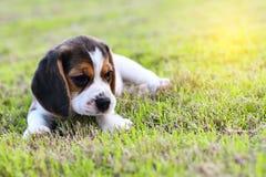 逗人喜爱的小的小猎犬 图库摄影