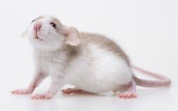 逗人喜爱的小的小老鼠 库存照片