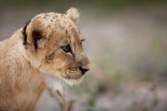 逗人喜爱的小的幼狮画象  免版税库存照片