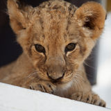 逗人喜爱的小的幼狮画象  免版税库存图片
