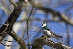 逗人喜爱的小的树燕子 库存照片