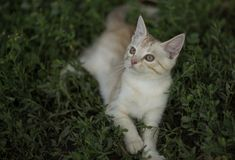 逗人喜爱的小的桃子镶边了坐在绿草的小猫 库存图片