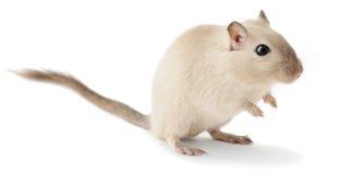 逗人喜爱的小的沙鼠 库存照片
