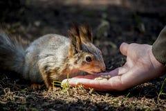 逗人喜爱的小的灰鼠 库存图片