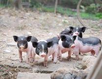 逗人喜爱的小的猪 免版税库存图片