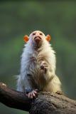 逗人喜爱的小的猴子 库存照片