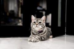逗人喜爱的小的美国人Shorthair猫 免版税库存照片