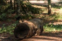 逗人喜爱的小的花栗鼠坐treestump在秋天的下落的树在阿尔根金族国家公园安大略加拿大 免版税库存照片