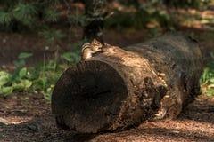逗人喜爱的小的花栗鼠坐treestump在秋天的下落的树在阿尔根金族国家公园安大略加拿大 免版税库存图片