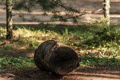 逗人喜爱的小的花栗鼠坐treestump在秋天的下落的树在阿尔根金族国家公园安大略加拿大 库存图片