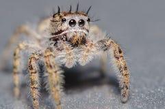 逗人喜爱的小的跳跃的蜘蛛 免版税库存图片