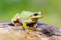 逗人喜爱的小的青蛙雨蛙arborea 免版税图库摄影