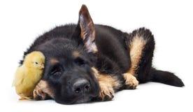 逗人喜爱的小的鸡和小狗德国牧羊犬狗 库存照片