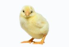 逗人喜爱的小的鸡和蛋壳 图库摄影