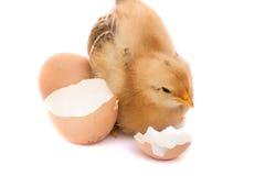 逗人喜爱的小的鸡用在白色背景隔绝的残破的鸡蛋 库存照片