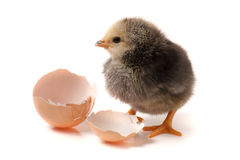 逗人喜爱的小的鸡用在白色背景隔绝的残破的鸡蛋 免版税库存照片