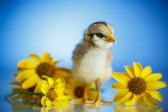 逗人喜爱的小的鸡 库存照片