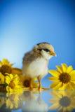 逗人喜爱的小的鸡 库存图片