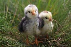 逗人喜爱的小的鸡 免版税库存照片