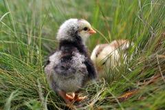 逗人喜爱的小的鸡 免版税图库摄影