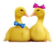 逗人喜爱的小的鸭子 图库摄影