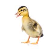 逗人喜爱的小的鸭子 库存图片