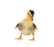 逗人喜爱的小的鸭子 库存照片