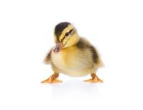 逗人喜爱的小的鸭子 免版税图库摄影