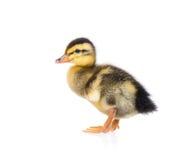 逗人喜爱的小的鸭子 免版税库存图片