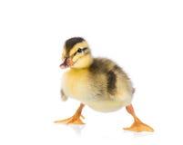 逗人喜爱的小的鸭子 免版税库存照片