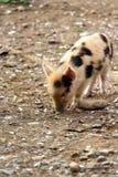 逗人喜爱的小的婴孩小猪 图库摄影