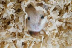 逗人喜爱的小的仓鼠 库存图片