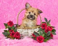 逗人喜爱的小的Yorki公安条例小狗 图库摄影