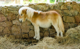 逗人喜爱的小马在槽枥 免版税库存图片