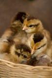 逗人喜爱的小鸡 免版税库存照片