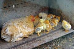 逗人喜爱的小鸡 库存照片