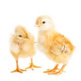 逗人喜爱的小鸡 免版税图库摄影