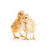 逗人喜爱的小鸡 免版税库存图片