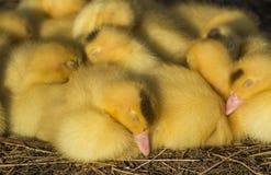逗人喜爱的小组婴孩鸭子放松 库存照片