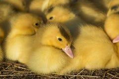 逗人喜爱的小组婴孩鸭子放松 免版税库存图片