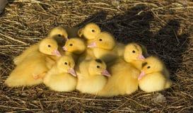 逗人喜爱的小组婴孩鸭子放松 免版税图库摄影