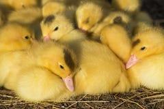 逗人喜爱的小组婴孩鸭子放松 免版税库存照片