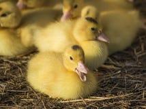 逗人喜爱的小组婴孩鸭子放松 库存图片