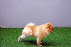 逗人喜爱的小Pomeranian狗撒尿在公园的,狗小便 库存图片