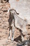 逗人喜爱的山羊一点 免版税库存照片